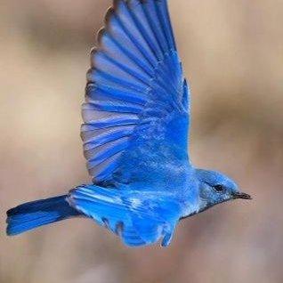 bleuloiseau