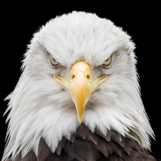 Today's Bald Eagle