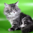 Cattery of Siberian cats AmurTiger