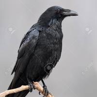 Corvus81