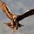 Aguila Imperial