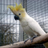 Cockatoo Sanctuary & Rescue