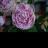 Violacornuta