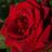 rose (@2ANxETTqhPR1HVt)