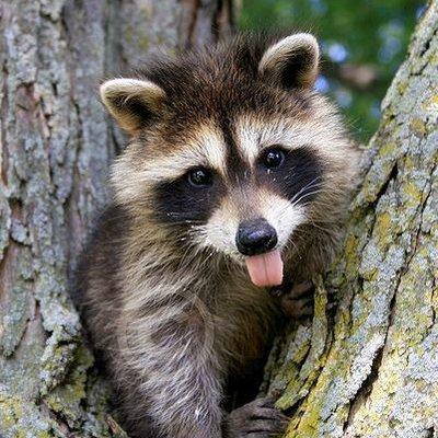 Cute Raccoon (@bulka_s_makam) | Twitter