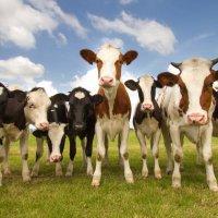 cows4schiff