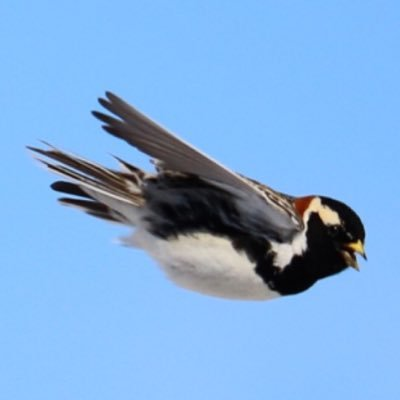 Northern Sparrow