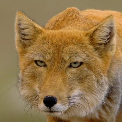 лесной лис (@fox_in_hell)