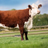 Normanton Herefords