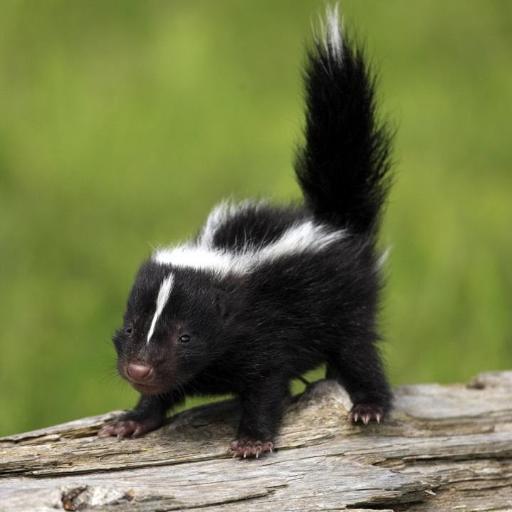 🌟 Lil Spunky Skunk 🦨