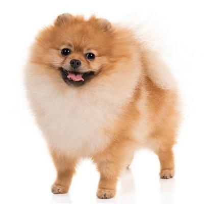 PomeranianSmack