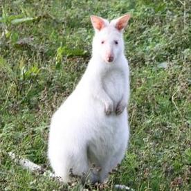 kangouroublanc1