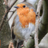 Robin #hedgerowRetention advocate in housebuilding