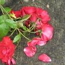 Concrete rose small reasonably small