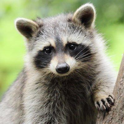 Raccoon Every Hour
