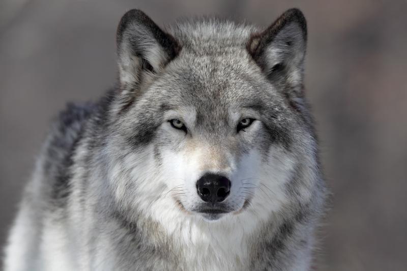Открытку, одинокий волк прикольная картинка