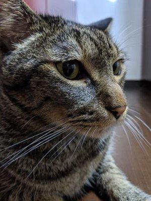 キジトラ猫のレオ