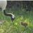 まいにちタンチョウ・レスキュー@釧路市動物園【公式】