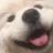 samoyeds ☁ (@samoyds) Twitter profile photo