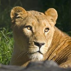 Lady Lioness