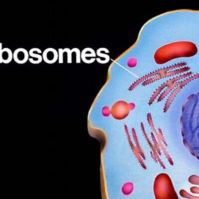 Ribosomes In A Plant Cell Ribosomes (@watevrRibo...