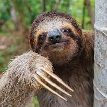 Roger The_3_Toed_Sloth