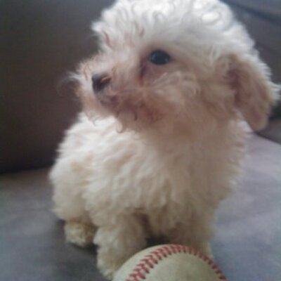 Toy Poodles On Twitter Apri Registered Toy Poodle For Stud