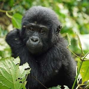 Gorillas Homeland Safaris
