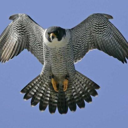 P.Falcon
