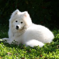 samoyed | Social Profile