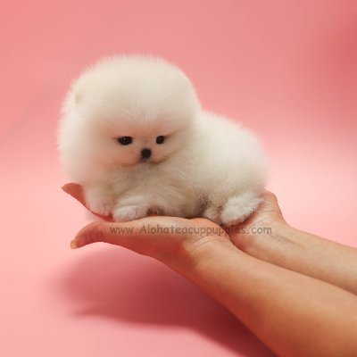 Aloha Teacup Puppies On Twitter Mini