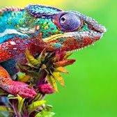 Socially Isolated Chameleon