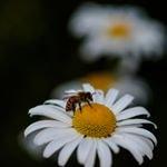 Poetic Bee
