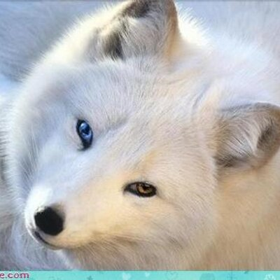 White fox with blue eyes wallpaper 14369 open walls