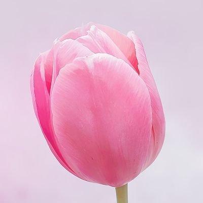 apple@tulip55