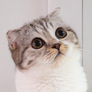 猫のぐう🐱スコティッシュフォールド