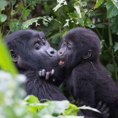 Gorillas of the Pearl