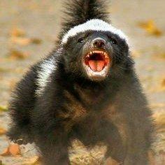 Bitcoin Honey Badger
