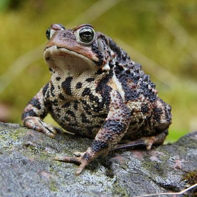 midwestern toad 🦃