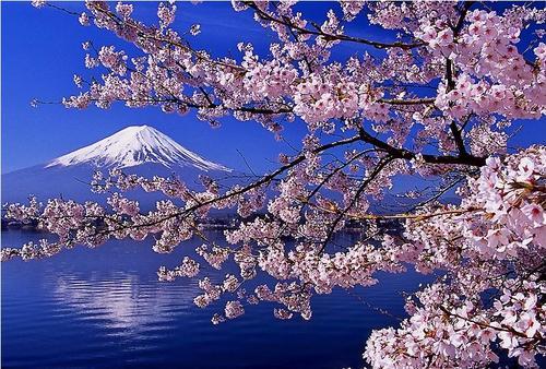 日本のイメージを代表する取り合わせの富士山と桜