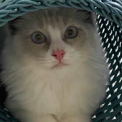 ラグドール子猫 ラテ♂