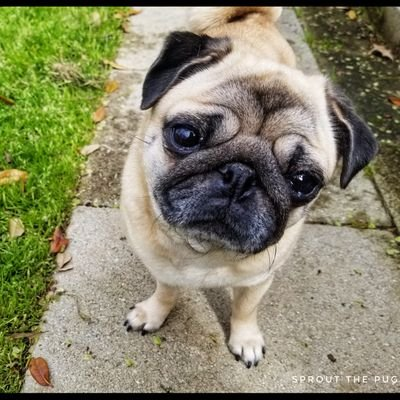 Sprout The Pug