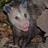 NWA News Possum
