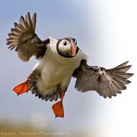 project puffin Audubon project puffin our mission is advancing the science of seabird conservation while encouraging protection and appreciation of seabird habitats worldwide visit.