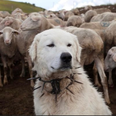 Once Great Pyrenees