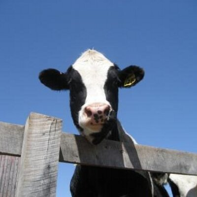 Dairy Cow Face Stock Images - 2,913 Photos |Dairy Cow Head Profile