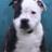 Staffy-bull-terrier