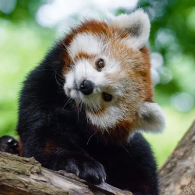 The Real Red Panda 🔥🦊