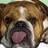 Caucasian Bulldog
