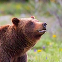 Grizzly Bear 399 (@grizzlybear399) Twitter